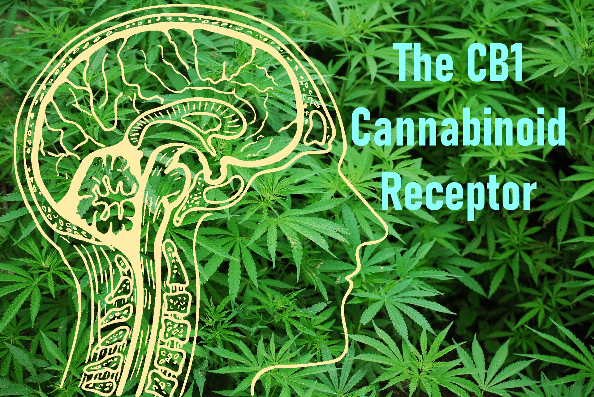 the cb1 cannabinoid receptor title