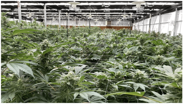 indoor cannabis cultivation